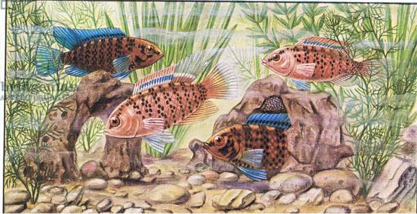 Fish that build a nest: The Blue Perch, from colour Liebig postcard (colour litho)