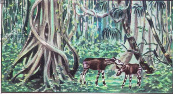 The National Albert Park: Okapi in the forest, from colour Liebig postcard (colour litho)