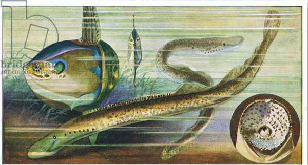 Fish you cannot eat: Orthaglorisque (Light Fish), from colour Liebig postcard (colour litho)