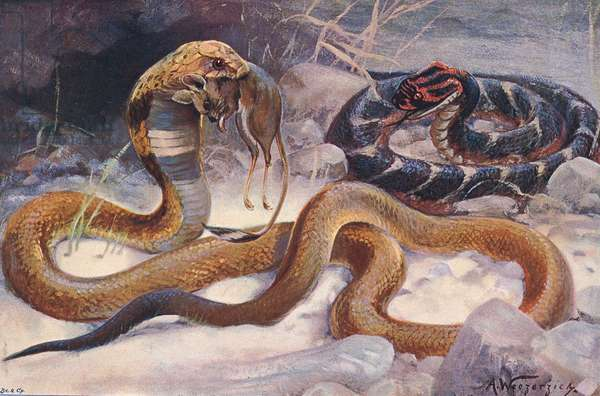 Cobra and Puff Adder, illustration from'Wildlife of the World', c.1910 (colour litho)