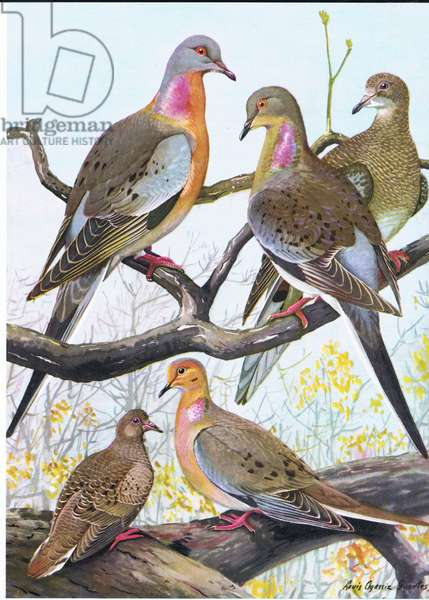 Passenger Pigeon, Eastern Morning Dove (colour litho)