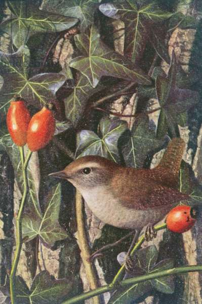 Wren in a setting of rosehip and ivy
