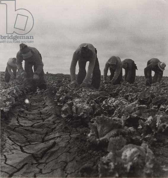 Filipinos Cutting Lettuce, Salinas, California, 1935 (gelatin silver print)