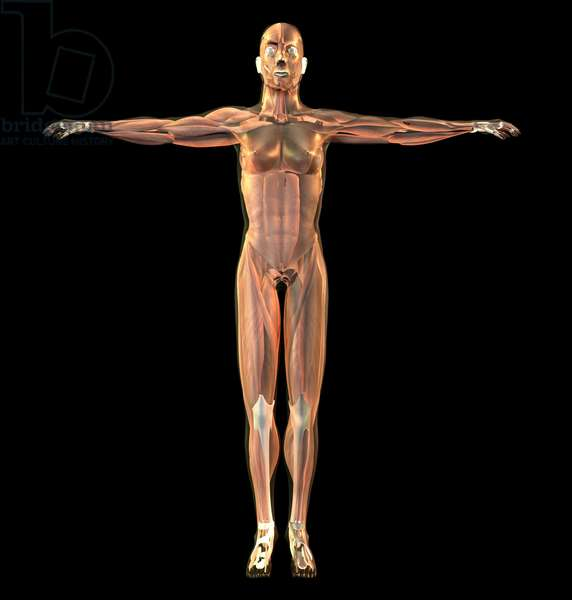 Synthesized image: body of man bark. Anatomy with muscle structure (muscles)