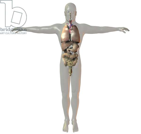 Synthesized image: man's body. Anatomy with sexual organs, digestive system, intestines, stomach