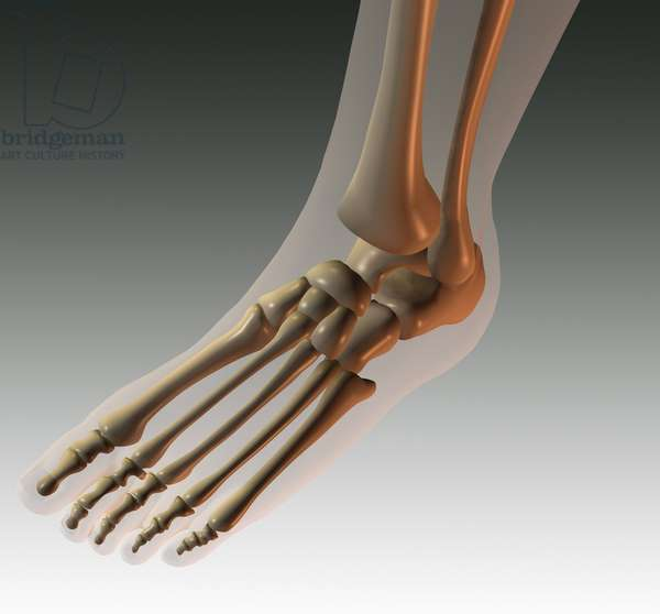 Synthesized image: anatomy. skeletal structure of the foot (phalanges)