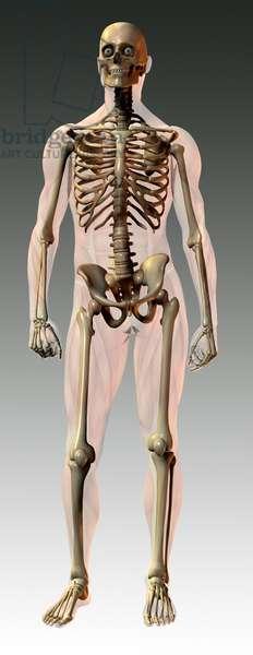 Synthesized image: anatomy. skeletal structure