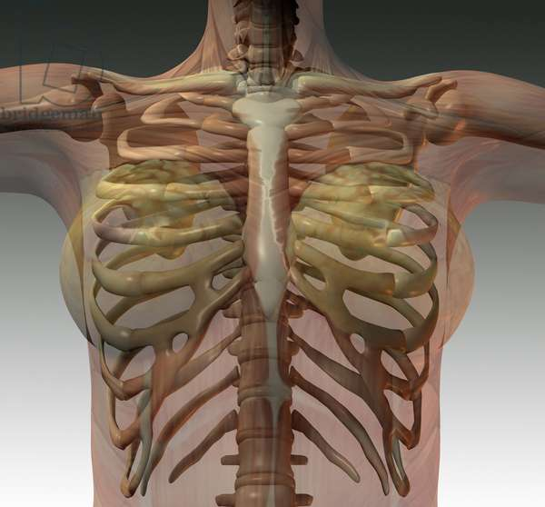 Synthesis image: anatomy. skeletal structure of thorax (rib cage)