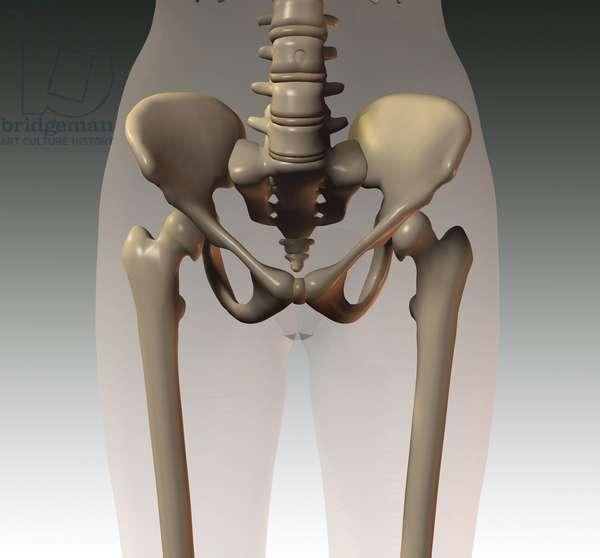 Synthesized image: anatomy, skeletal structure (bone pelvis or pelvis in Latin)