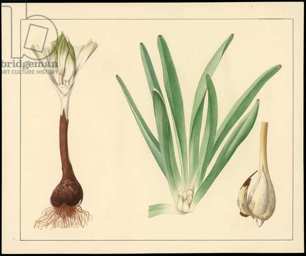 Jerusalem autumn crocus, from 'Floral Treasury of the Holy Land' by Hareuveni, 1923 (collotype print)