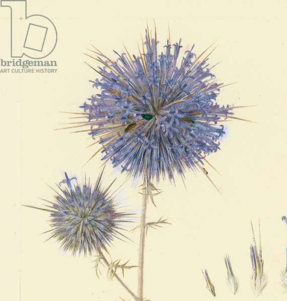 Detail of a globe thistle, 1923-27 (pencil & w/c on paper)