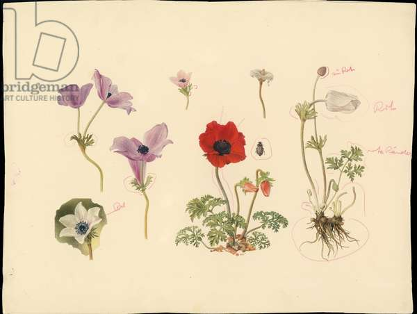 Crown anemone and anemone coronaria, from 'Floral Treasury of the Holy Land' by Hareuveni, c.1923 (collotype print)