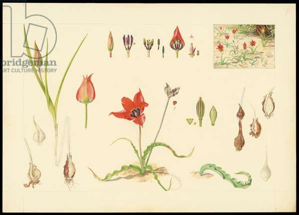 Sun's eye tulip, from 'Floral Treasury of the Holy Land' by Hareuveni, 1923-27 (collotype print)