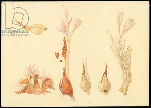 Jerusalem autumn crocus, from 'Floral Treasury of the Holy Land' by Hareuveni, c.1923 (collotype print)
