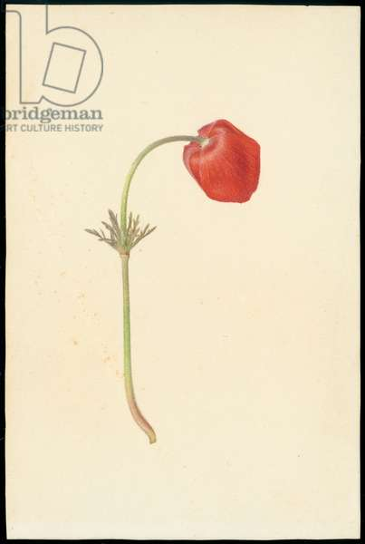 Crown anemone, from 'Floral Treasury of the Holy Land' by Hareuveni, 1923-27 (collotype print)
