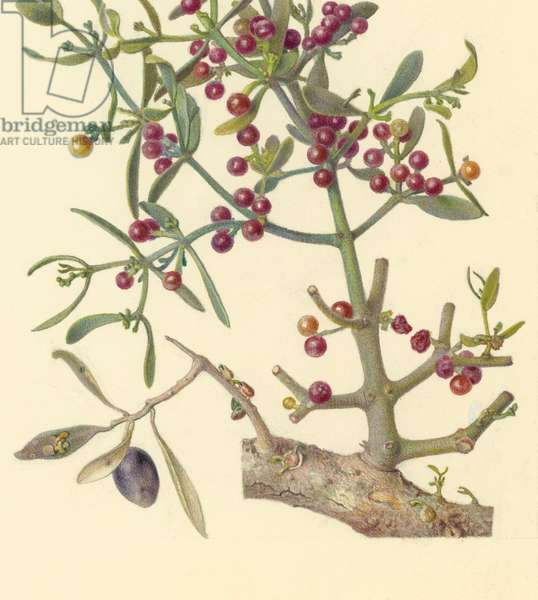 Oriental mistletoe on an olive tree, 1923-27 (pencil, gouache & w/c on paper) (detail of 386765)