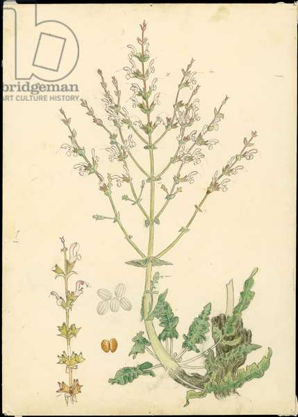 Palestine sage, from 'Floral Treasury of the Holy Land' by Hareuveni, c1923 (collotype print)