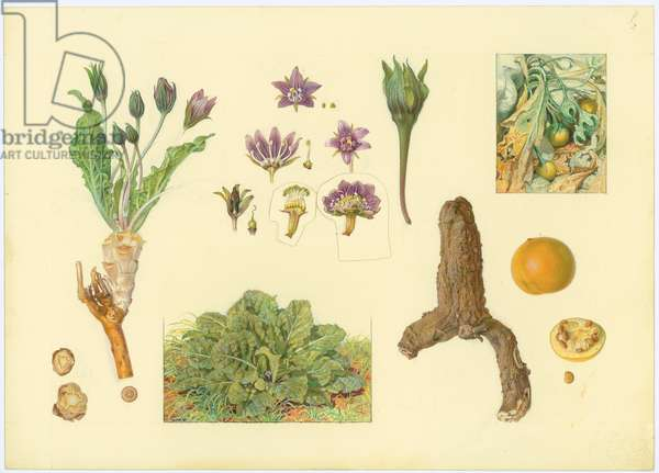 Autumn mandrake, 1923-27 (pencil, gouache & w/c on paper)