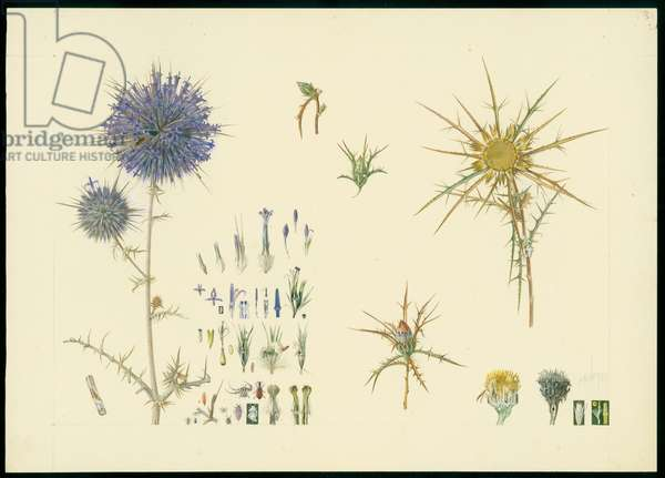 Globe thistle and carline thistle, 1923-27 (pencil & w/c on paper)