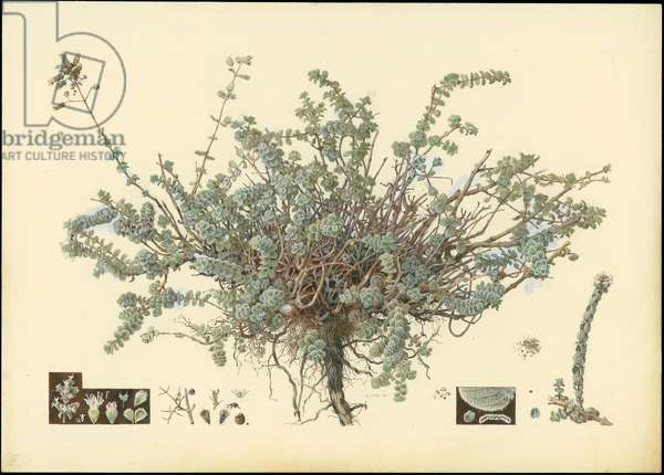 Wild marjoram, 1923-27 (pencil, gouache & w/c on paper)