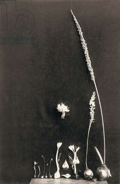 Bulbous plants that bloom suddenly in the Fall, 1920s (b/w photo)