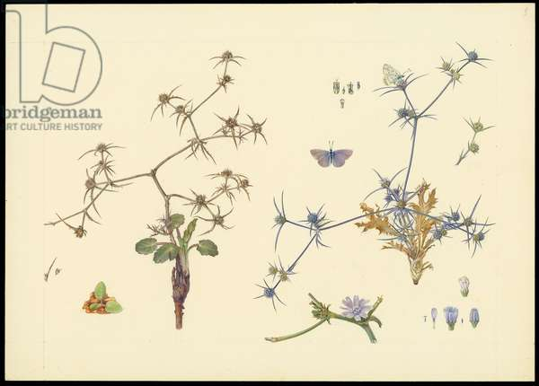 Field eyngo, dwarf chicory (bottom right) and cichorium endivia, 1923-27 (pencil, gouache & w/c on paper)