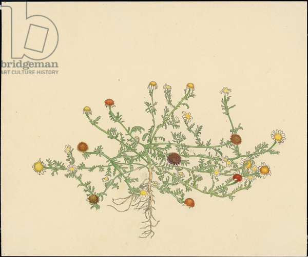 Chamomile, from 'Floral Treasury of the Holy Land' by Hareuveni, 1923 (collotype print)