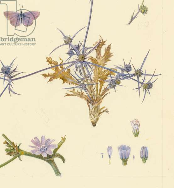 Dwarf chicory and cichorium endiva, 1923-27 (pencil, gouache & w/c on paper) (detail of 386757)