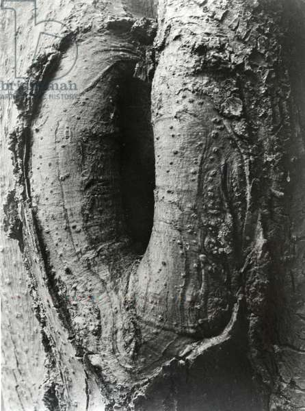 Tree Detail, 1935 (gelatin silver print)