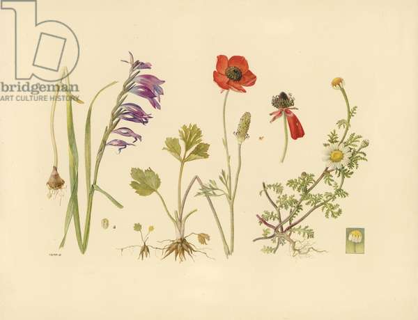 Chamomile, turban buttercup, commo gladiolus, from 'Floral Treasury of the Holy Land' by Hareuveni, c.1923 (collotype print)