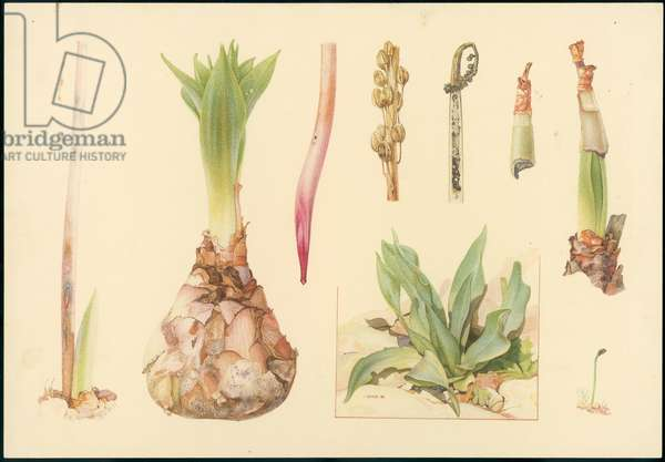 Sea squill, from 'Floral Treasury of the Holy Land' by Hareuveni, c.1923 (collotype print)
