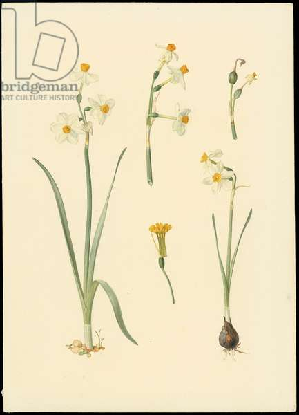 Common narcissus, from 'Floral Treasury of the Holy Land' by Hareuveni, 1923-27 (collotype print)