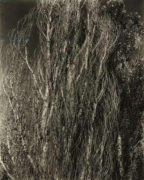 Poplars - Lake George, 1932 (gelatin silver print)