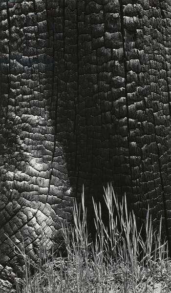 Grass and Burned Wood, Sierra Nevada, California, 1935 (gelatin silver print)