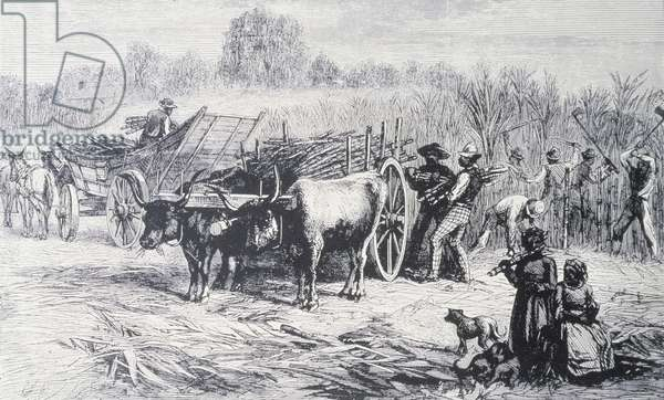 Cutting and Harvesting Sugar Cane on a Plantation in Louisiana (engraving)