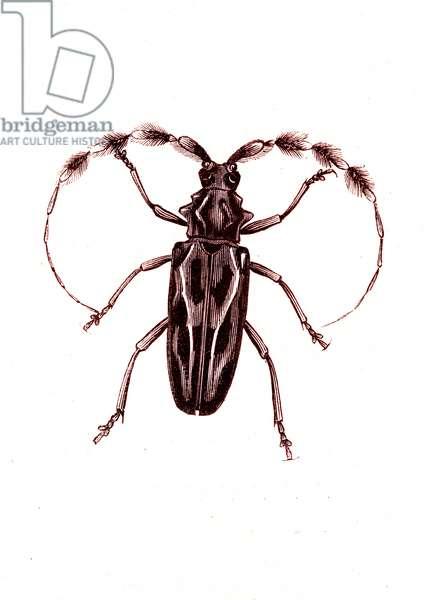 Coleoptera: Lophocerus barbatus, 1860