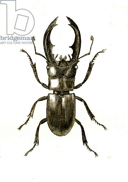 Coleoptera: Hexarthrius Buqueti or Lucanus, 1860