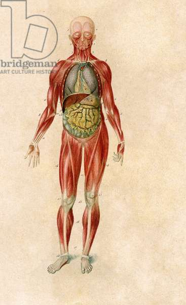 Anatomy. Man, Myology and visceral disposition