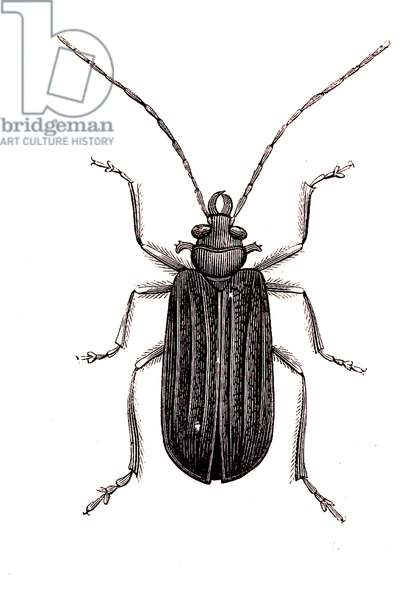 Coleoptera: Malloderes microcephalus, 1860