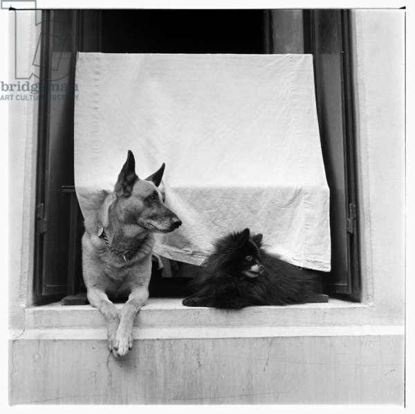 Image of two dogs on a windowsill, Montparnasse, Paris, early early 1950's