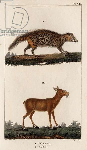 """Civet and Musk."""""""" Fauna des Mdecins ou histoire des animaux et de leurs produits par Hippolyte Cloquet"""" - Volume 6 - 1825."""