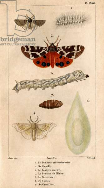 """The processional Bombyce, its caterpillar, the Marten Bombyce, the Murier Bombyce, the Silk Worm, its hull, its chrysalide.in """""""" Fauna of the Doctors or history of animals and their products by Hippolyte Cloquet"""""""" -"""