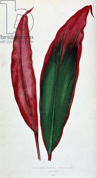 "Leaf of Dracaena ferrea versicolor. Botanical board in """" Plants with colorful foliage."