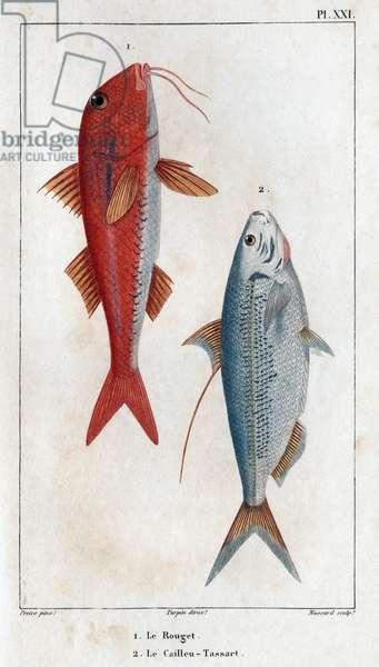 """Le Rouget et le Caillou-Tassart (Caillou Tassart). In """""""" Fauna des Medecins ou histoire des animaux et de leurs produits par Hippolyte Cloquet"""""""" - Volume 6 - 1825."""