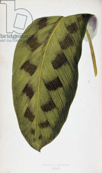 """Leaf of Maranta Pardina. Botanical board in """""""" Plants with colorful foliage. Collection of the most remarkable species used to decorate gardens, greenhouses and apartments, by Edward Joseph Lowe and W. Howard, members of the London Horticulture Society. Translated from English by M.J. Rothschild, with the help of several horticulturists. Illustrated work of 60 coloured engravings (pink paper snakes) and 46 wood engravings. Original French edition. Paris, Rothschild 1865."""""""