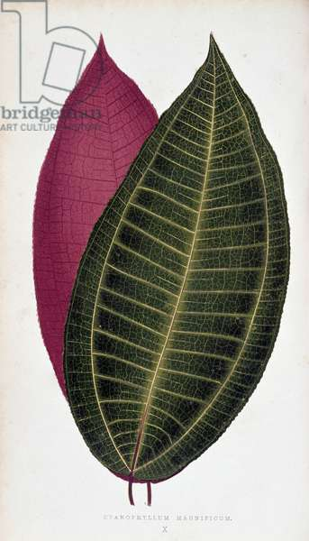 """Leaf of Cyanophyllum Magnificum. Botanical board in """""""" Plants with colorful foliage."""