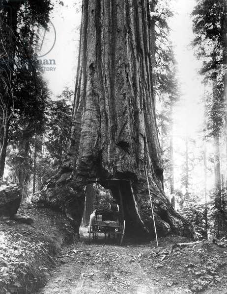 The Wawona Tunnel Tree in the Mariposa Grove, late C19th (b/w photo)