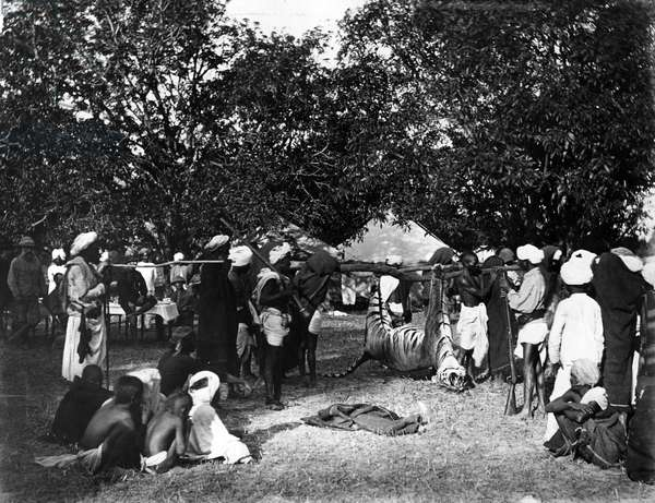 Tiger Hunting in India, c.1870s (b/w photo)