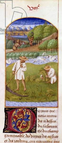 """The Miniature Harvest from """"The Rustican or Book of Country and Rural Profit"""" by Pietro de Crescenzi (Crescent Stone or Crescens Stone) (1233-1320) enluminated by the Master of the Boccace of Geneve called Colin d'Amiens (15th century) 1459-1470. Chantilly, Conde Museum"""
