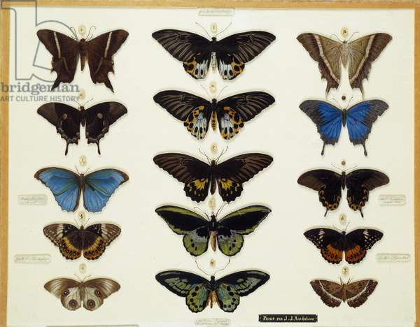 Zoology: Plate of Butterflies Painted on Glass by John James Audubon (1780-1851) 19th century Collection Brieux